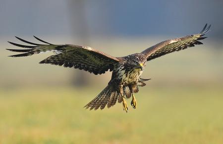 Common buzzard (Buteo buteo) Stock fotó