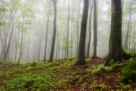 Morning in the foggy forest