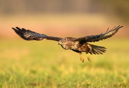 Common buzzard (Buteo buteo) Stok Fotoğraf