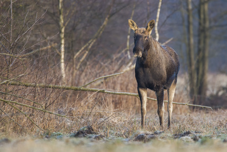 Elk  Moose (Alces alces)