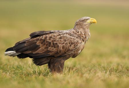White tailed eagle (Haliaeetus albicilla) Reklamní fotografie - 94648434