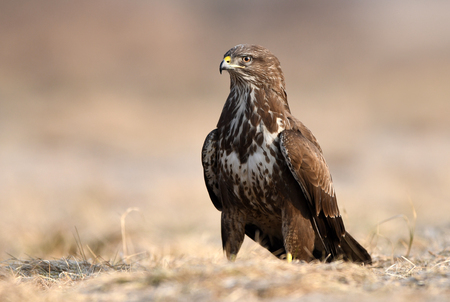Common buzzard (Buteo buteo) 免版税图像