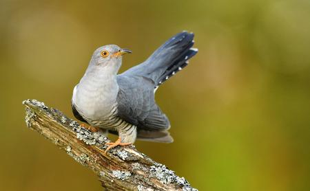 Common cuckoo (Cuculus canorus) Stock fotó