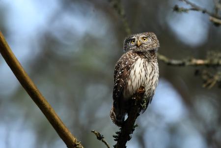 Eurasian pygmy owl (Glaucidium passerinum) Stock Photo