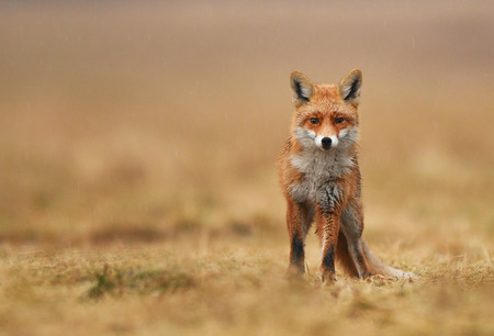 Fox (Vulpes vulpes) Stock Photo