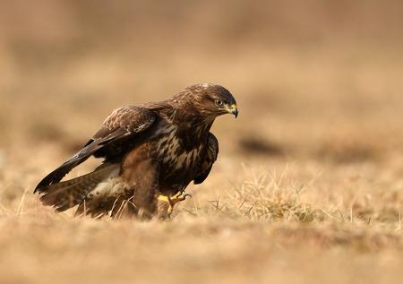 Common buzzard (Buteo buteo) Stock Photo