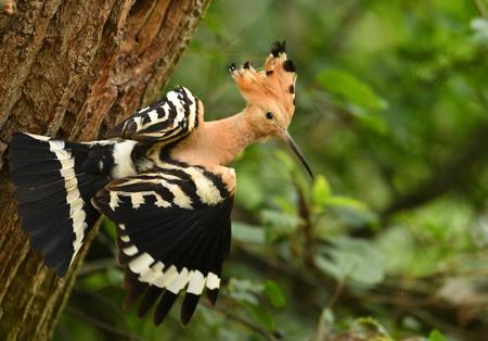Eurasian Hoopoe, Common hoopoe (Upupa epops)