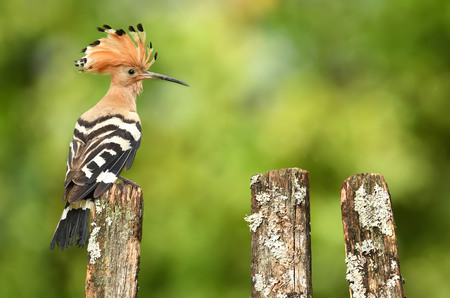 Eurasian Hoopoe or Common hoopoe (Upupa epops) Фото со стока
