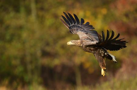 White tailed eagle (Haliaeetus albicilla)