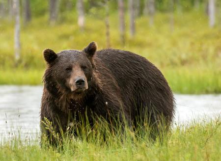 Wild brown bear (Ursus arctos) Standard-Bild - 114120253