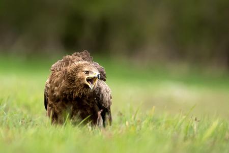 Lesser spotted eagle (Clanga pomarina) Standard-Bild - 114120256