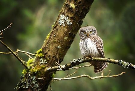 Eurasian pygmy owl (Glaucidium passerinum) Standard-Bild - 114120810