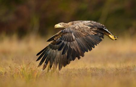 White tailed eagle (Haliaeetus albicilla) Standard-Bild - 114120815