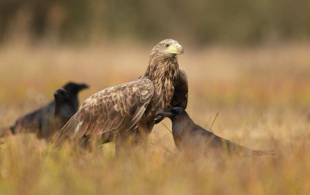 White tailed eagle (Haliaeetus albicilla) Standard-Bild - 114120820