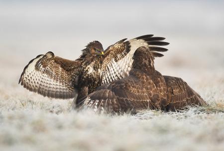 Common buzzards (Buteo buteo) Standard-Bild - 114120865
