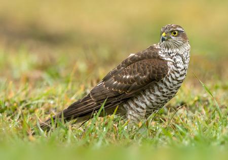 Euarsian sarrowhawk (Accipiter nisus) Standard-Bild - 114120876