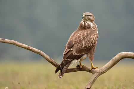 Common buzzard (Buteo buteo) Standard-Bild - 114120902