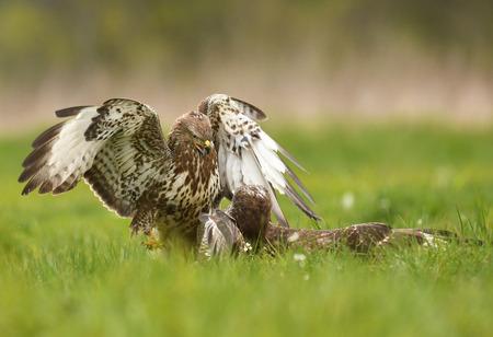 Common buzzards (Buteo buteo) Standard-Bild - 114120910