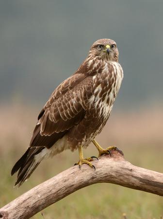 Common buzzard (Buteo buteo) Standard-Bild - 114121084