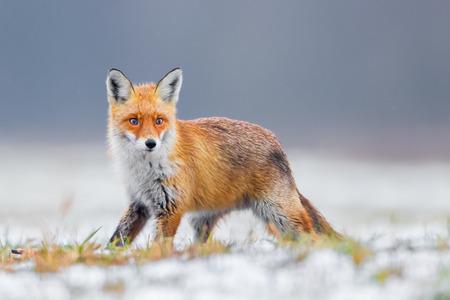 Fox (Vulpes vulpes) Archivio Fotografico