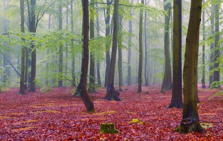 Misty morning in the old beech forest