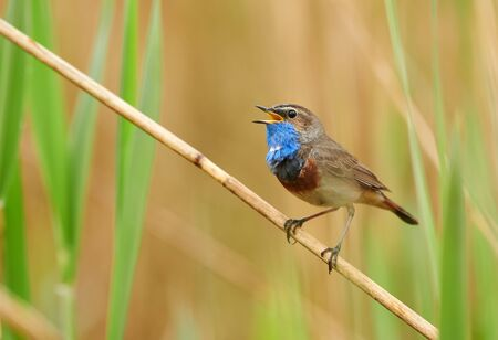 Bluethroat bird sitting on the reed (Luscinia svecica)