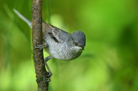 Barred warbler (Sylvia nisoria) close up