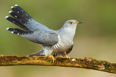 Common cuckoo (Cuculus canorus) Banque d'images