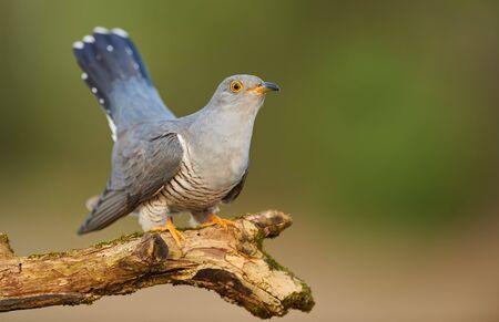 Common cuckoo (Cuculus canorus) Zdjęcie Seryjne