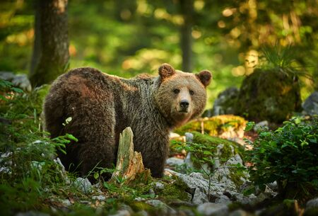 Primo piano dell'orso bruno selvatico (Ursus arctos)