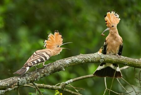 Eurasian Hoopoe or Common hoopoe (Upupa epops) Stock Photo
