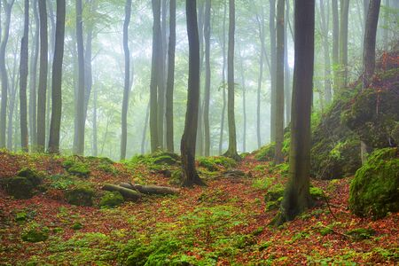 Misty morning in old beech forest