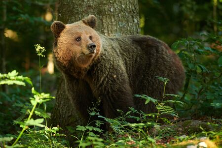 Primo piano dell'orso bruno selvatico (Ursus arctos) Archivio Fotografico