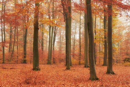 Autumn in old beech forest