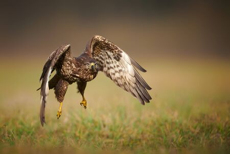 Common buzzard (Buteo buteo) in flight