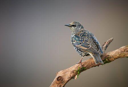 Common starling (Sturnus vulgaris) close up