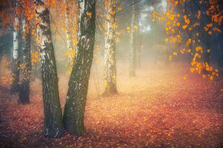 Misty morning in autumn birch forest Archivio Fotografico