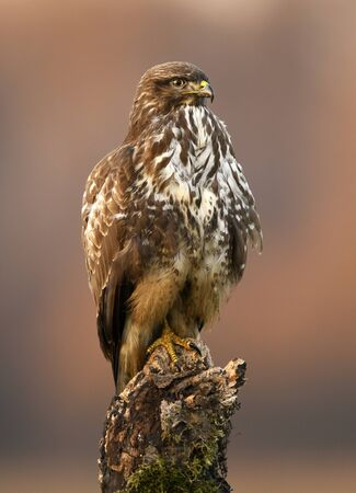 Common buzzard (Buteo buteo) close up