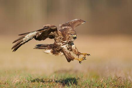 Common buzzard (Buteo buteo) in flight Stock Photo