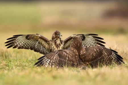 Common buzzard (Buteo buteo) in fight