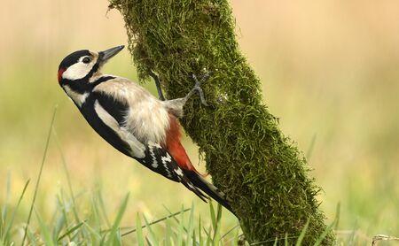 Great Spotted Woodpecker (Dendrocopos major) Archivio Fotografico
