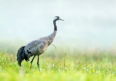 Common crane bird (Grus grus)