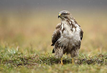 Common buzzard (Buteo buteo) close up
