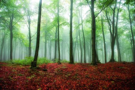 Foggy morning in green forest