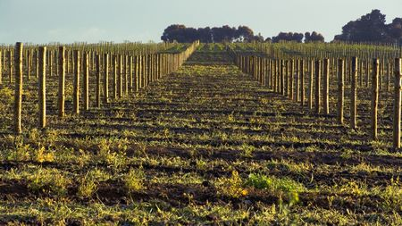 barossa: Empty Vineyard in the Barossa Stock Photo