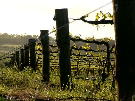 barossa: Grapevines
