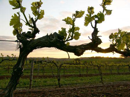 Grapevine at Sunset photo
