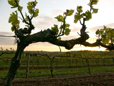 vine country: Grapevine at Sunset