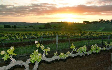 Sun Setting over Vineyard