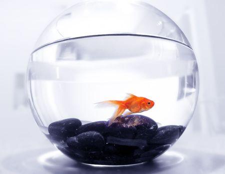confined: Goldfish